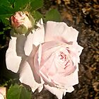 Pale Pink Rose by Shulie1