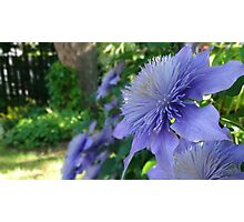 In my garden Clematis ''Crystal Fountain''  Photographic Print