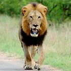 RIGHT DIRECTION - THE LION - Panthera leo - LEEU by Magaret Meintjes