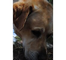 Mans Best Friend- Bouncer The Labrador  Photographic Print