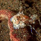 Harlequin shrimp - Hymenocera picta by Andrew Trevor-Jones