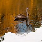 Cold Cygnet on Golden Welland by JohnYoung