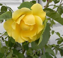 Yellow Rose Against White by Kathleen Brant