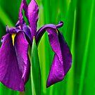 Iris by Carolyn Clark