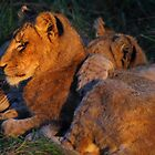 Lion love by Explorations Africa Dan MacKenzie