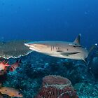 Whitetip Staring by Mark Rosenstein