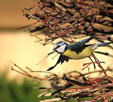Blue tit flying from Japanese maple by turniptowers