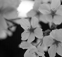 Sakura by chancemaycrown