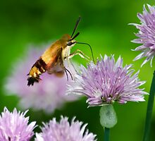 Hummingbird Moth On Purple Chive Flowers by Christina Rollo