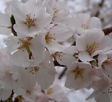 Yoshino Cherry Blossoms by StarryGardens