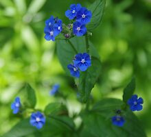 Brunnera macrophylla by lezvee