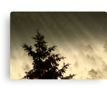 28.6.2014: Spruce Tree, Summer Morning Canvas Print