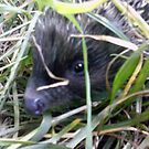 Good morning Mr. Hedgehog! II by Kagara