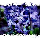 Blue Hyacinth by © Kira Bodensted