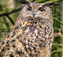 European Eagle Owl by M.S. Photography & Art