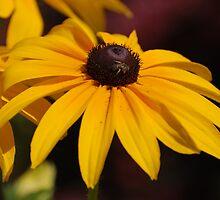 Black Eyed Susan Blossom, greenery by kimberpix