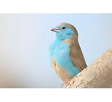 Blue Waxbill - Colorful Wild Birds from Africa Photographic Print