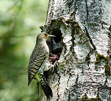 Northern Flicker Nest by Christina Rollo