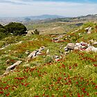 Poppies in Pergamon by diggle