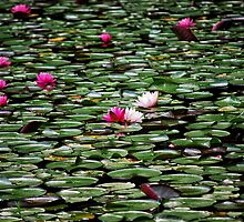 lily pads in bloom. by torib