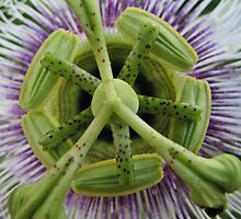 Passiflora patterns by Lee Jones