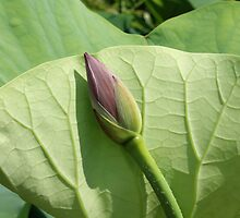 Lotus bud by Kelly Morris