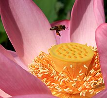Bee and lotus by Kelly Morris