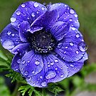 raindrop anemone by Avril Harris