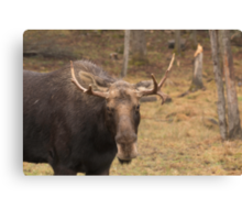 Bull moose in a fall landscape Canvas Print