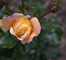 The Eye of a Rose by AnniqueMaujean