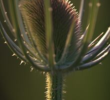 Thistle by AnniqueMaujean