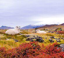 Icelandic sheep by Stanciuc