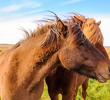 Icelandic horses by Stanciuc