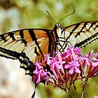 Swallowtail Butterfly by SB  Sullivan