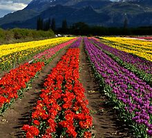 Tulips at the foot of the mountain. by Mónica Paiva