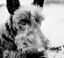 Scottish Terrier  by AGODIPhoto