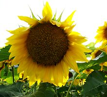 Sunflower by AGODIPhoto