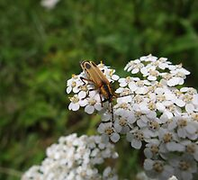 Pennsylvania Leatherwing Beetle by vigor
