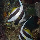 Bannerfish Couple by Mark Rosenstein
