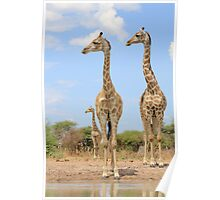 Giraffe - African Wildlife Background - Stare of Symmetry Poster
