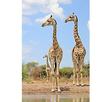 Giraffe - African Wildlife Background - Stare of Symmetry Photographic Print