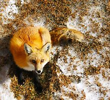 The Majestic Red Fox by Andrey Molina