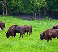 European bisons by Stanciuc