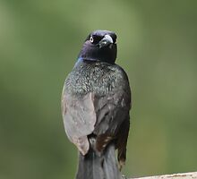 dramatic boat-tailed grackle by snowyo