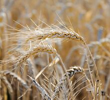 Ripe heads of golden wheat in the field by Stanciuc