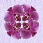 Pink Moth Orchid by Avril Harris
