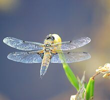 Same Dragonfly by DAVE SNEYD