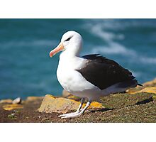 Black-browed Albatross - Saunders Island, the Falklands Photographic Print