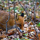 Friendly Fox by Tiffany Dryburgh