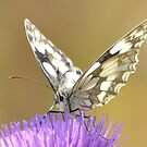 """ Marbled White On Thistle "" by Richard Couchman"